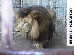 Patru lei, de la Grădinile Zoo din Bacău şi Buhuşi, în rezervaţiile Africii!