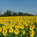 24,5 tone floarea soarelui, fara documente legale