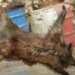 Depistați în timp ce tranșau trei porci mistreți, capturați cu ajutorul lațurilor
