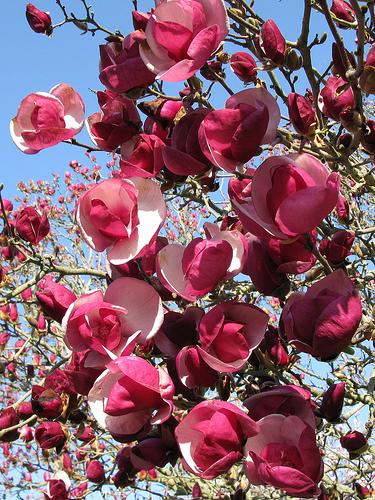 Magnolia x soulangeana 'Alexandrina' 64-132-A