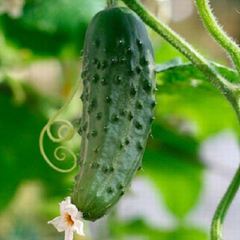 Castravetii-aliment-medicament-proprietati-terapeutice-beneficii-pentru-muraturi