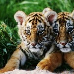 Ziua internațională a tigrului
