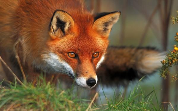 fox-e1369983025944