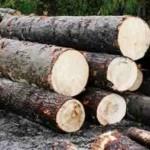 Prins în flagrant în timp ce tăia ilegal arbori