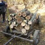 Depistați în flagrant în timp ce tăiau illegal arbori