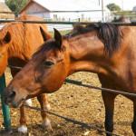 Furt de cai, soluționat