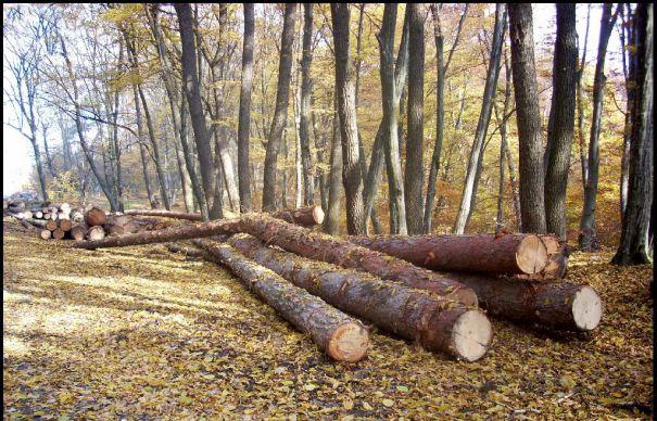 copaci-taiati-7973-465x390