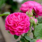 Trandafirii, florile iubirii, sănătăţii şi plăcerii