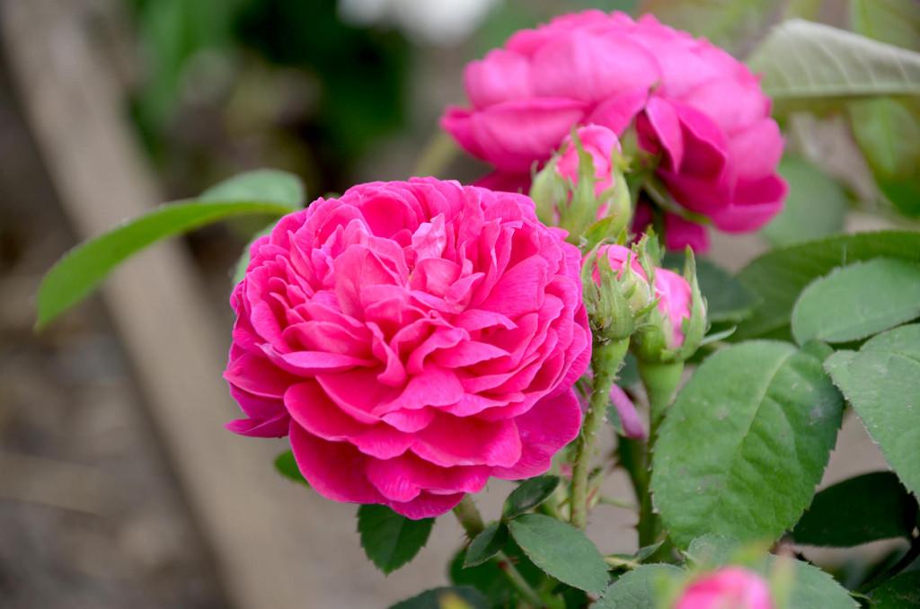 rose-de-rescht