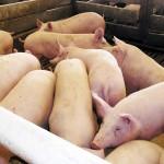 Condiţiile sanitar-veterinare de mişcare a porcinelor pe teritoriul României