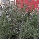 Pomi de Crăciun confiscaţi