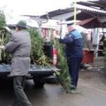 Poliţiştii au confiscat 280 pomi de Crăciun