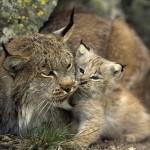 Evaluare populaţii specii de animale protejate de pe teritoriul judeţului Bacău