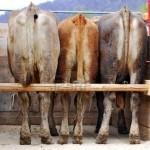 Furt de animale, soluționat înaintea sesizării faptei