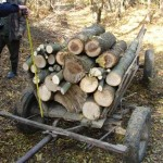 Tăieri ilegale de material lemnos