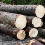 Depistați în flagrant în timp ce tăiau ilegal arbori