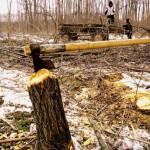 Depistat în flagrant şi cercetat pentru tăiere ilegală şi furt de arbori