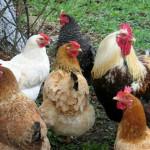 Furt de păsări soluţionat, prejudiciu recuperat