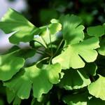 Ginkgo biloba – beneficii si reactii adverse